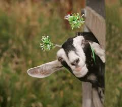 goat-picture1.jpg