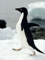 adelie-penguin_433_600x450