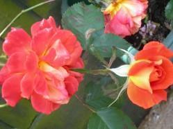 garden and fairisle 005